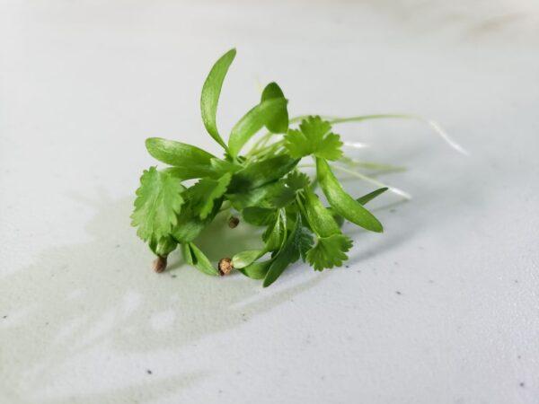 Sprig of cilantro